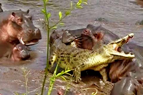 cá sấu hà mã