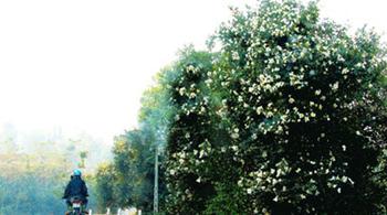 Tháng 12, Quảng Ninh trắng trời hoa Sở