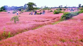Thung lũng cỏ hồng mộng mơ ở Gia Lai khiến giới trẻ thích thú