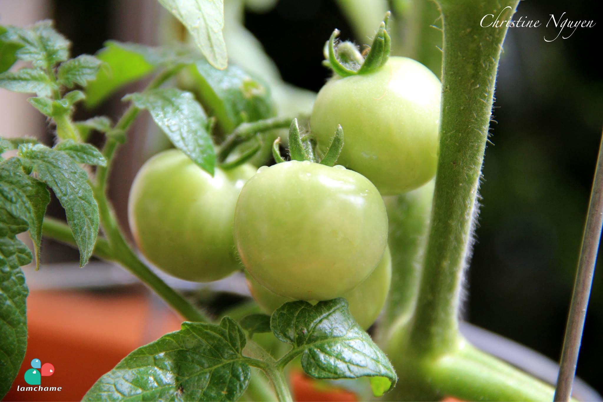 trồng rau sạch,ban công,du học sinh Mỹ,chung cư