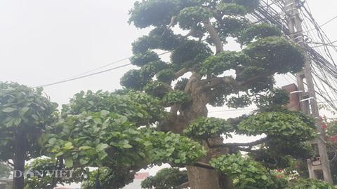 Duối kiểng cổ thụ 'tình phụ tử' hơn 120 tuổi giá tiền tỷ ở Ninh Bình