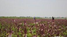 Sự thật cánh đồng bạt ngàn hoa oải hương gây sốt ở Hà Nội