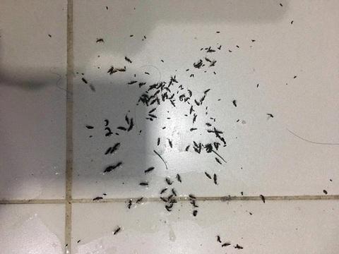 kiến ba khoang