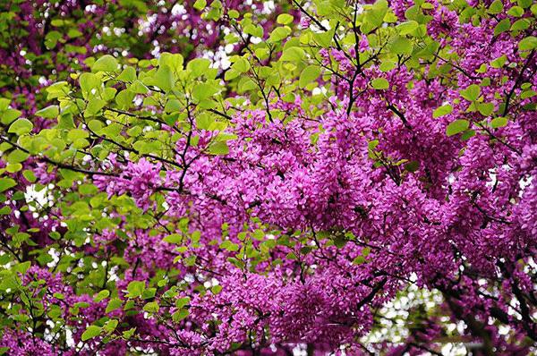 Trồng cây hạnh phúc cho vườn nhà rực rỡ sắc hoa, gia chủ hạnh phúc suốt đời