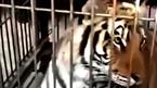 Hổ sổng chuồng gánh xiếc tấn công khán giả gây hoảng loạn