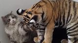 Mèo tát liên tục vào mặt của... hổ