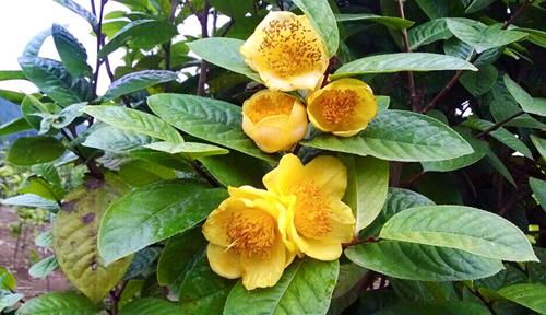 Trà hoa vàng - 'Mỏ vàng' dược liệu đất Quảng Ninh