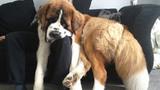 """""""Đắng lòng"""" chú chó ngủ cũng không được yên thân"""