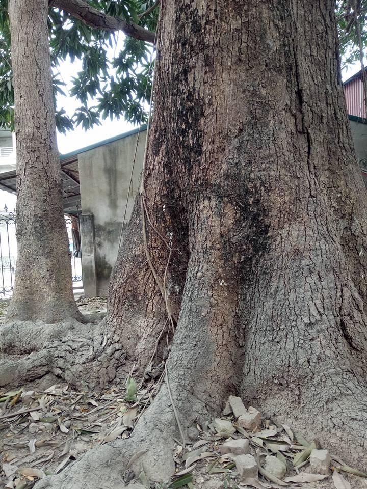 Ngỡ ngàng vẻ đẹp cổ kính, bề thế của 'cụ' trôi trên 500 năm tuổi
