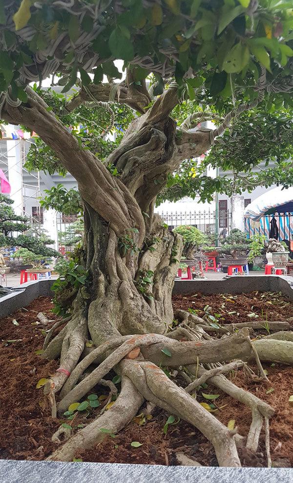 siêu cây,siêu cây cảnh,siêu cây triệu đô,cây cảnh,chơi cây cảnh