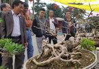 Cây cảnh có bộ rễ 'quái vật': Trông như củi khô hét giá trăm triệu