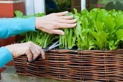 Nhà chung cư chật chội muốn trồng rau xanh thì nhớ những mẹo này