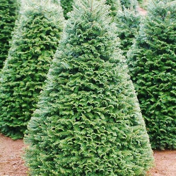 cây thông noel,thị trường giáng sinh,đồ chơi giáng sinh,cây thông giáng sinh,cây thông trang trí,cây thông