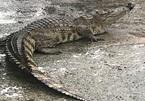 Cá sấu ngoe nguẩy đuôi bày bán giữa chợ ở Đà Nẵng