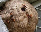 Tò mò nếm thử… ong vò vẽ cực 'độc' ở miền Tây
