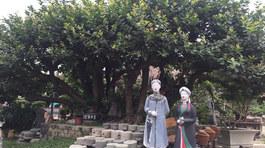 Ngắm cây trâm vối 500 năm tuổi có một không hai ở Việt Nam