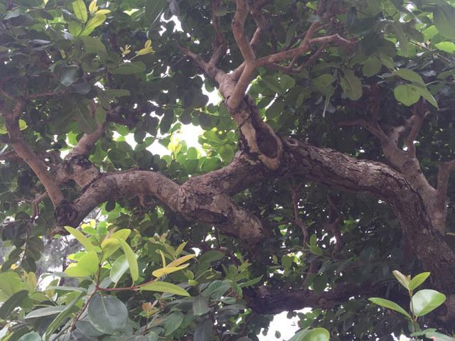 Cây cảnh,Siêu cây,Cây vối 500 năm tuổi