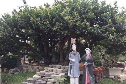 Ngắm cây trâm vối 500 năm tuổi có một không hai ở Việt Nam - ảnh 1