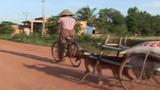 Rớt nước mắt với chú chó kéo xe của người đàn bà nghèo