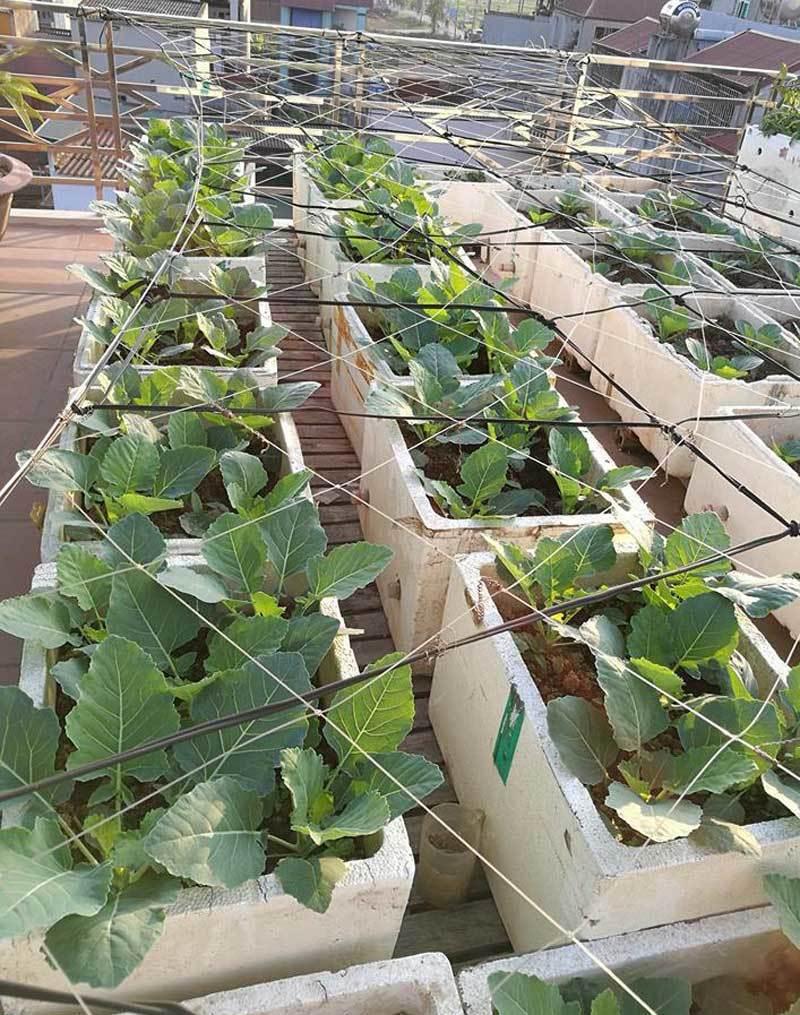 trồng rau sạch,vườn rau trên sân thượng