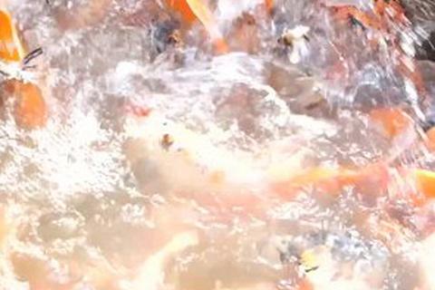 Mục sở thị nuôi cá koi trên sông Hồng bỏ túi hàng tỷ đồng