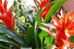 Ý nghĩa phong thủy ngày Tết của cây dứa cảnh nến đỏ