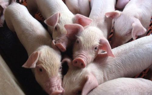 Hà Nội: Đẩy mạnh chăn nuôi theo chuỗi