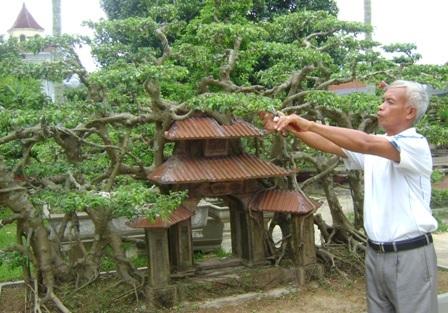 cây sanh,cây cổ thụ,cây cảnh tiền tỷ,cây cảnh