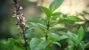 Ý nghĩa phong thủy và cách trồng cây húng quế hút tài lộc