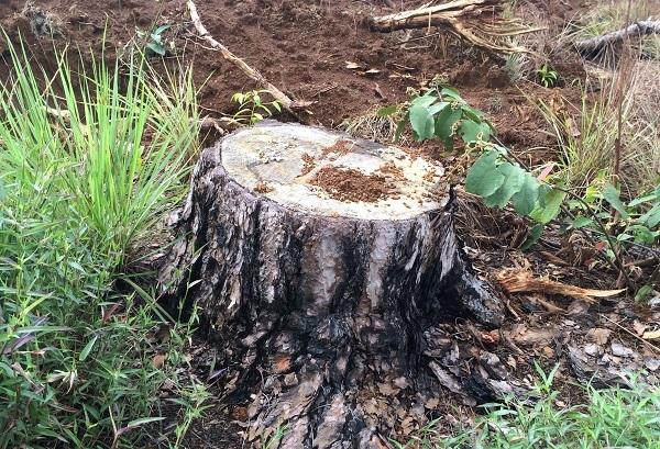 Bắt chủ tịch xã ký xác nhận cho doanh nghiệp phá rừng