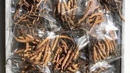 Sâu cỏ Tây Tạng 2,2 tỷ/kg: Gói quà Tết đắt ngang căn hộ