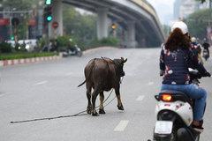 Chú trâu bị sổng chuồng chạy lang thang trên phố Hà Nội