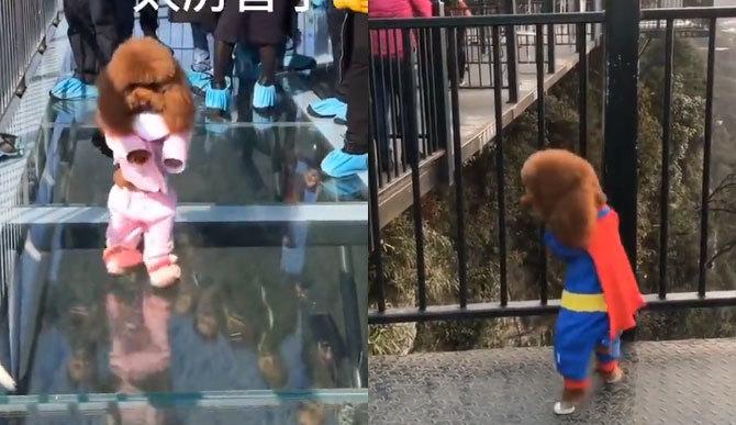 Chú cún con đi bằng 2 chân cực đáng yêu