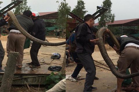 Bắt được rắn hổ mang khổng lồ to như con trăn