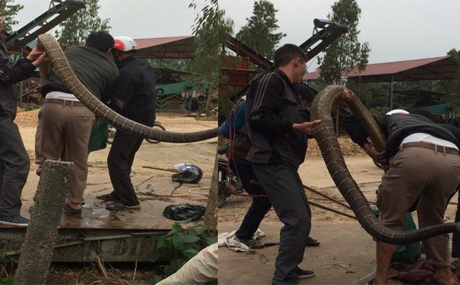 Người dân kể lại cuộc vậy bắt rắn khổng lồ ở Vĩnh Phúc