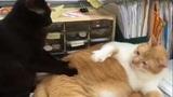 """Mèo cưng """"đấm lưng"""" cho nhau cực hài hước"""