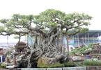 Cây sanh cổ 100 tuổi giá 10 tỷ của đại gia Hà Nội