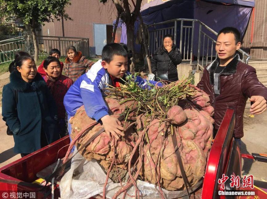Củ khoai lang khổng lồ 119 kg của lão nông Trung Quốc khiến nhiều người sửng sốt