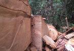 Vụ phá rừng pơ mu ở Nghệ An: Khởi tố 2 cán bộ kiểm lâm