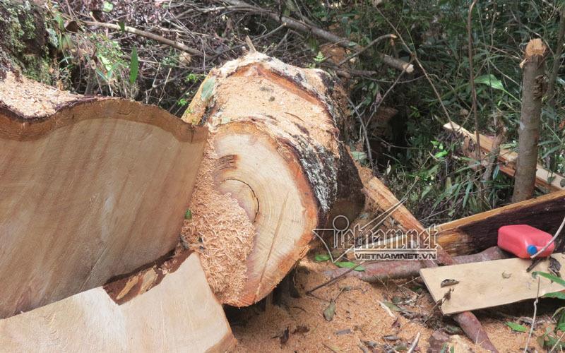 phá rừng,pơ mu,Nghệ An,phá rừng nghiêm trọng,quản lý rừng