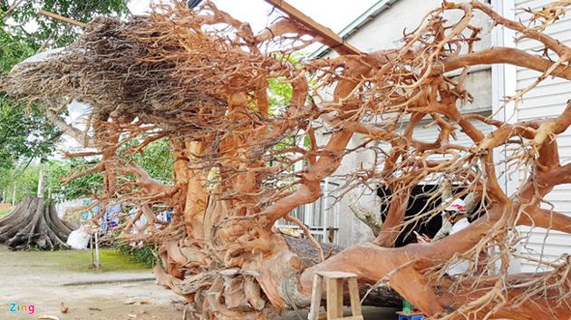 Chi 200 triệu để sở hữu bộ rễ cây 200 năm tuổi