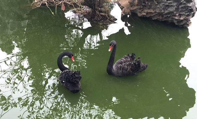 thiên nga đen,đại gia việt,chim quý hiếm