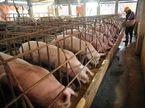 'Đại khủng hoảng' thịt lợn, cả nước cùng giải cứu