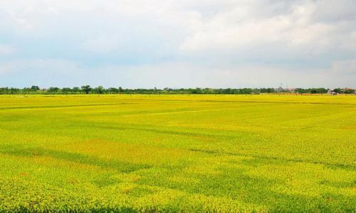 Đã mở hơn 2.260 cánh đồng lớn khắp Việt Nam