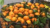 Sự thật về những quả quýt vàng thơm xuất xứ từ Trung Quốc