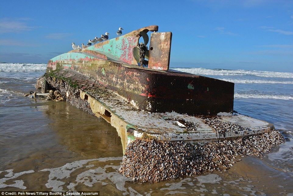 Hải sản bám đầy 'tàu ma' Nhật dạt vào Mỹ