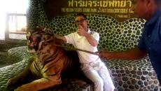 Hổ dữ bất lực chịu hành hạ cho du khách chụp ảnh