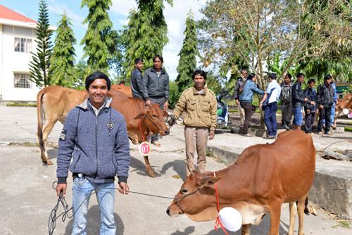 Cô gái Hà Lan tặng 80 con bò cho nông dân Lâm Đồng
