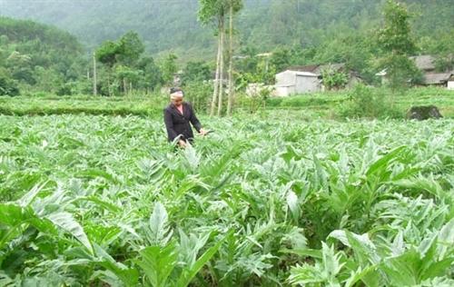 Trồng cây dược liệu, hướng xóa đói giảm nghèo của phụ nữ vùng sâu vùng xa