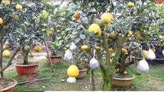 Mục sở thị cây cho 10 loại quả của lão nông Hà Nội